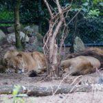 Joop: The Lions Sleeps Tonight: The Tokens